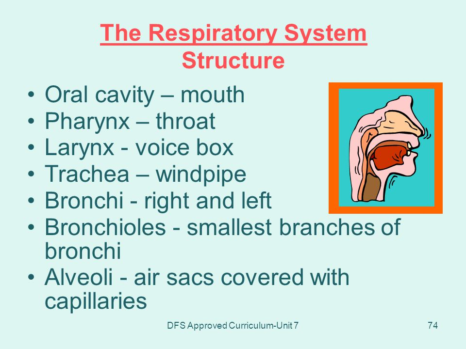The Respiratory System Structure