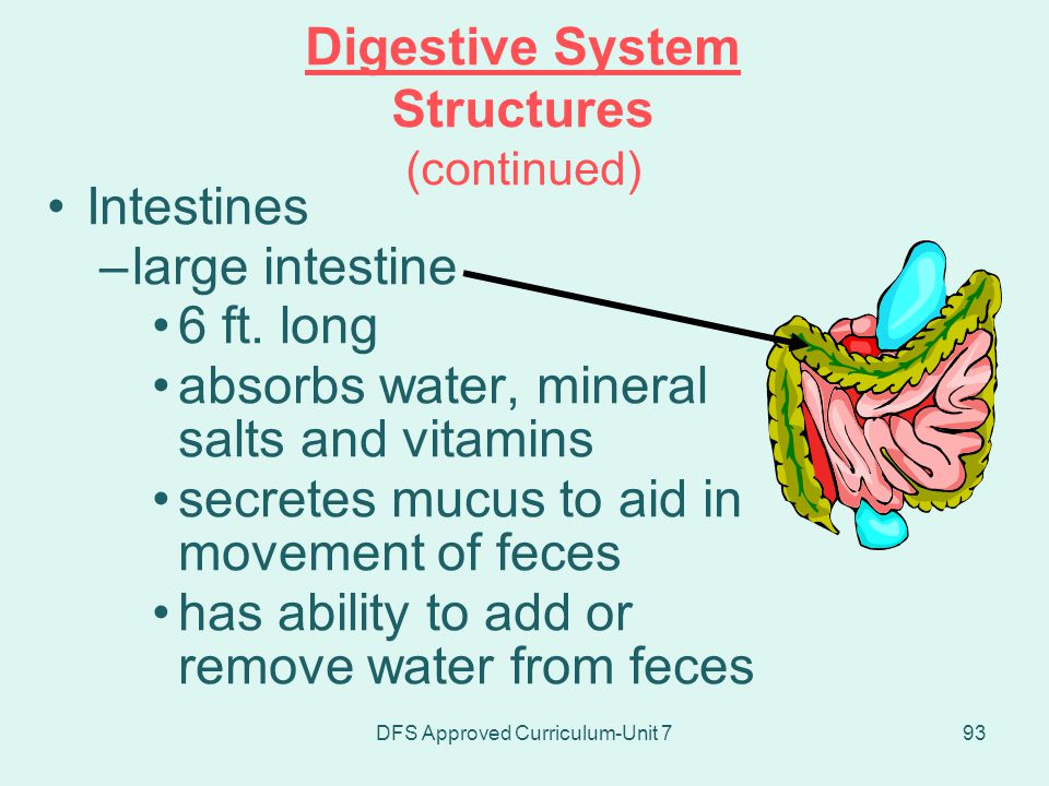 Digestive System Structures (continued)