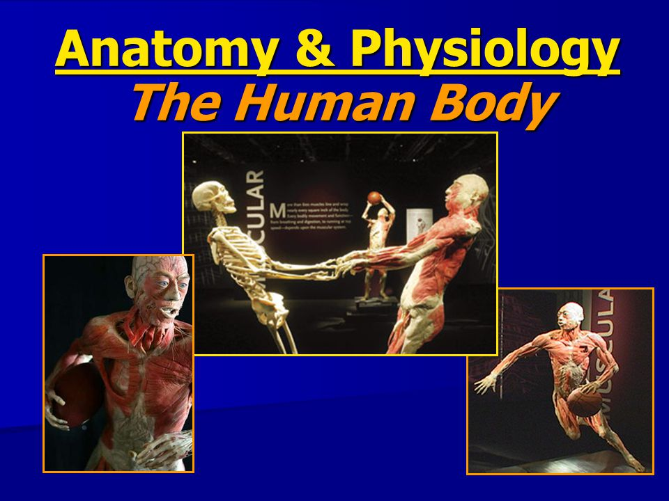 Anatomy & Physiology The Human Body