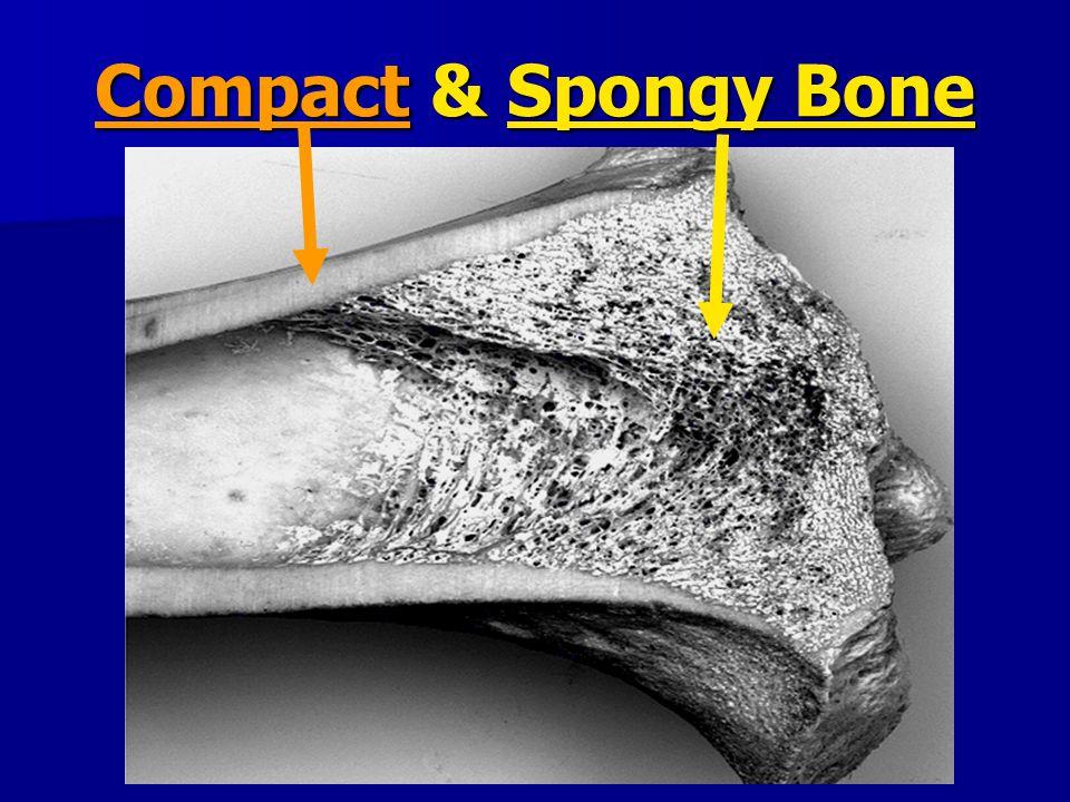 Compact & Spongy Bone