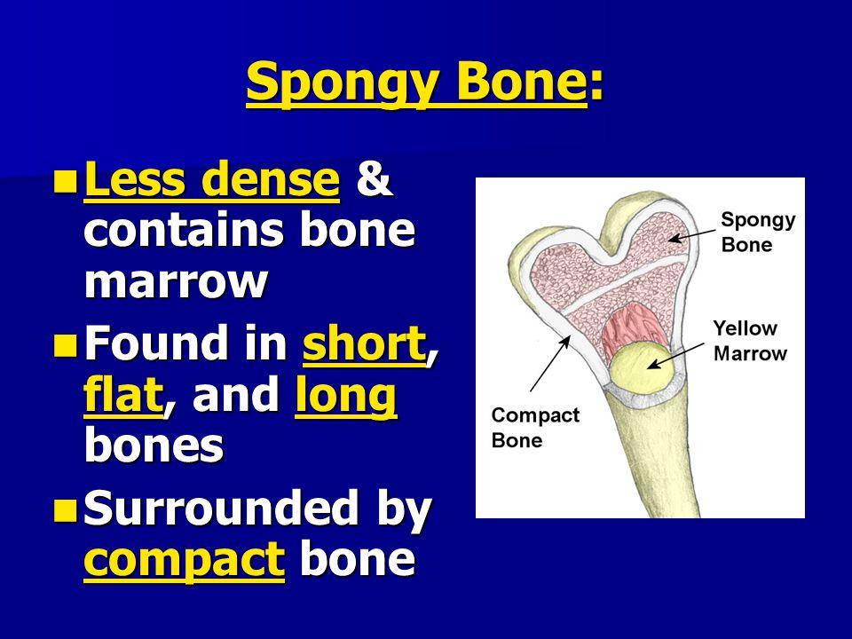 Spongy Bone: Less dense & contains bone marrow