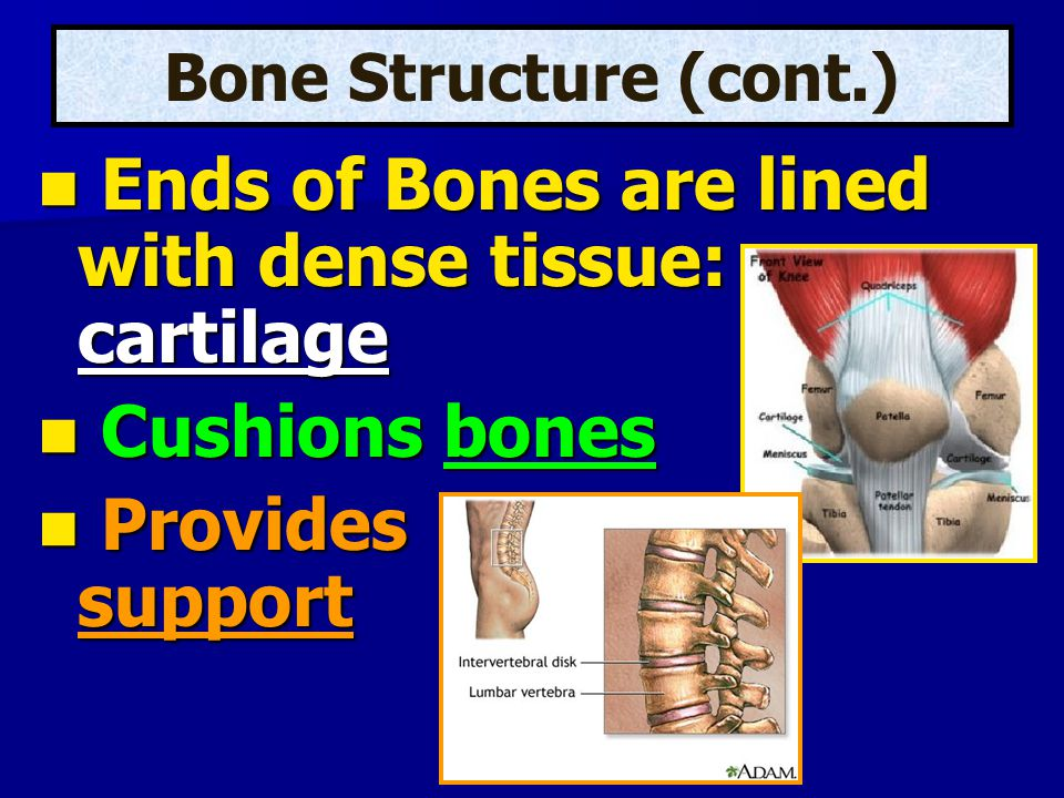Ends of Bones are lined with dense tissue: cartilage