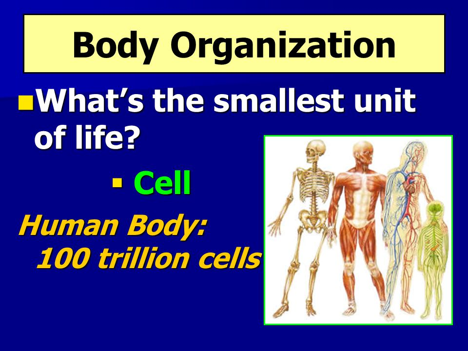 Body Organization What's the smallest unit of life Cell