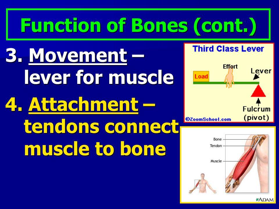 Function of Bones (cont.)