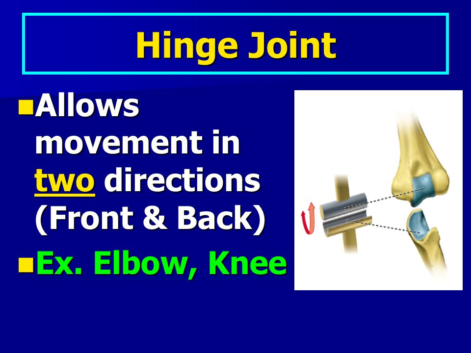 Hinge Joint Allows movement in two directions (Front & Back)