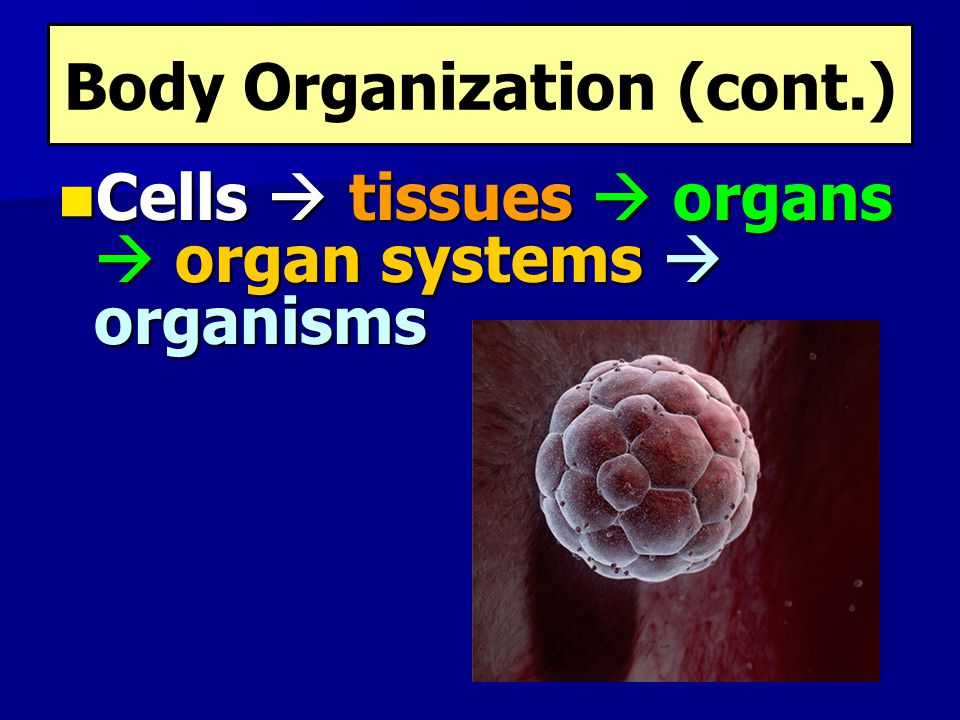Body Organization (cont.)