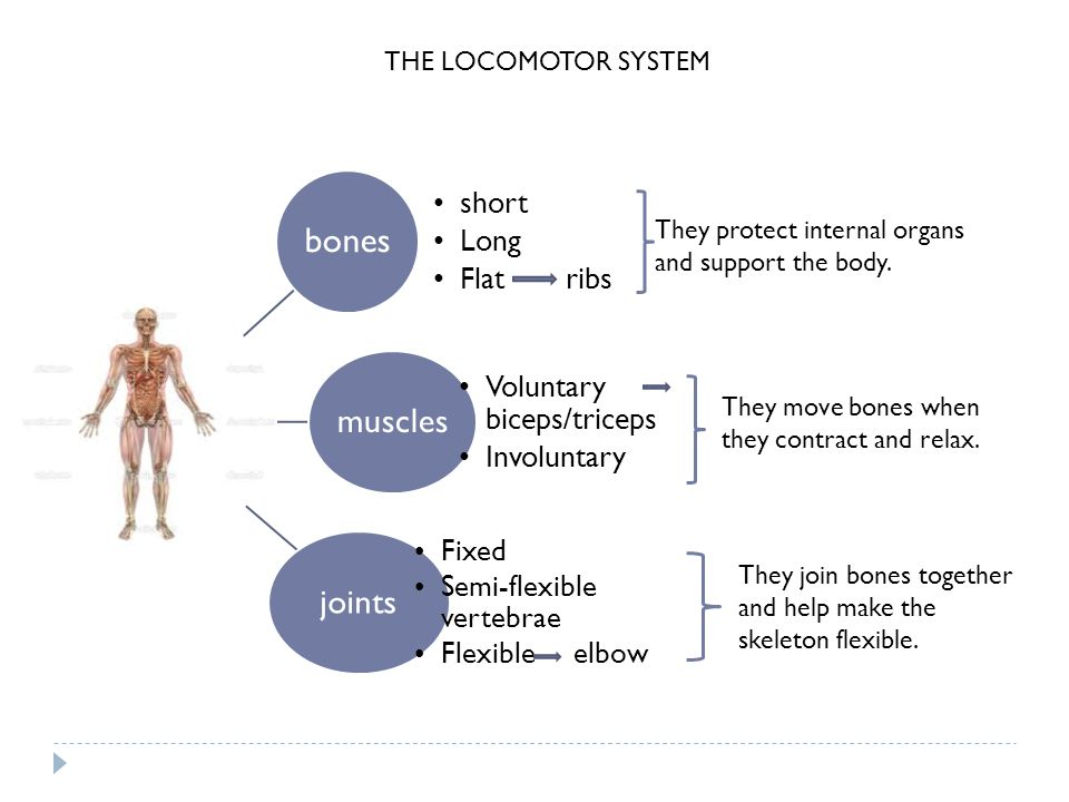 bones muscles joints short Long Flat ribs Voluntary biceps/triceps