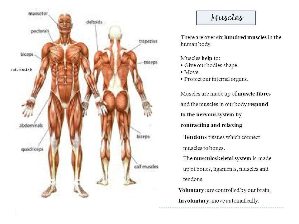 Muscles Tendons tissues which connect muscles to bones.