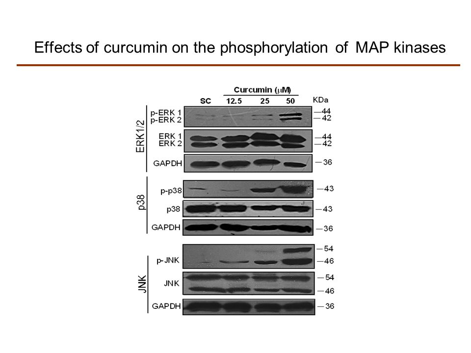 Effects of curcumin on the phosphorylation of MAP kinases