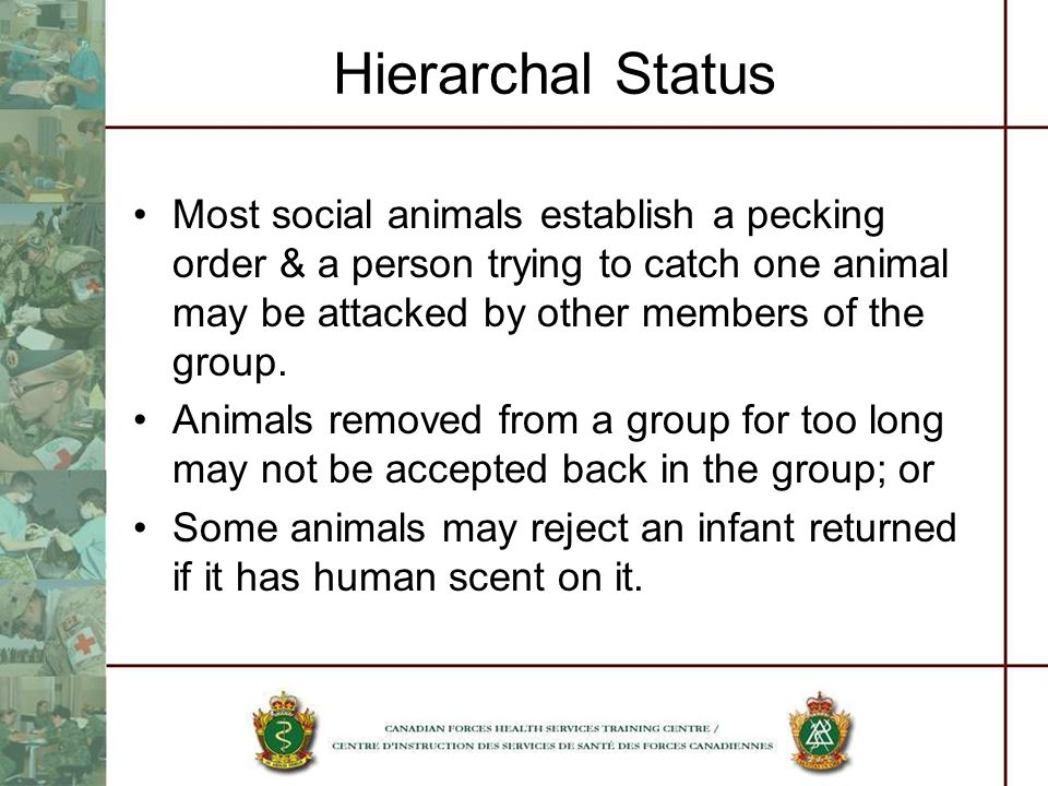 Hierarchal Status Most social animals establish a pecking order & a person trying to catch one animal may be attacked by other members of the group.