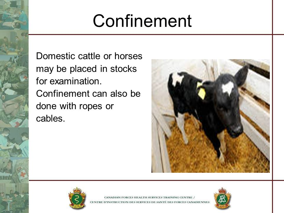 Confinement Domestic cattle or horses may be placed in stocks