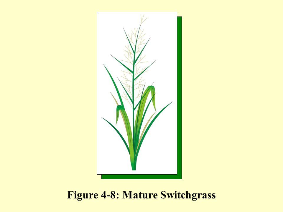 Figure 4-8: Mature Switchgrass