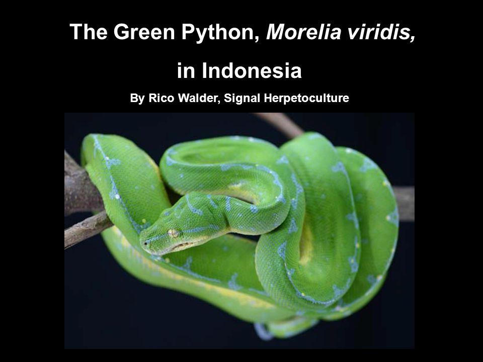 The Green Python, Morelia viridis, in Indonesia