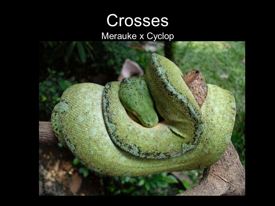 Crosses Merauke x Cyclop