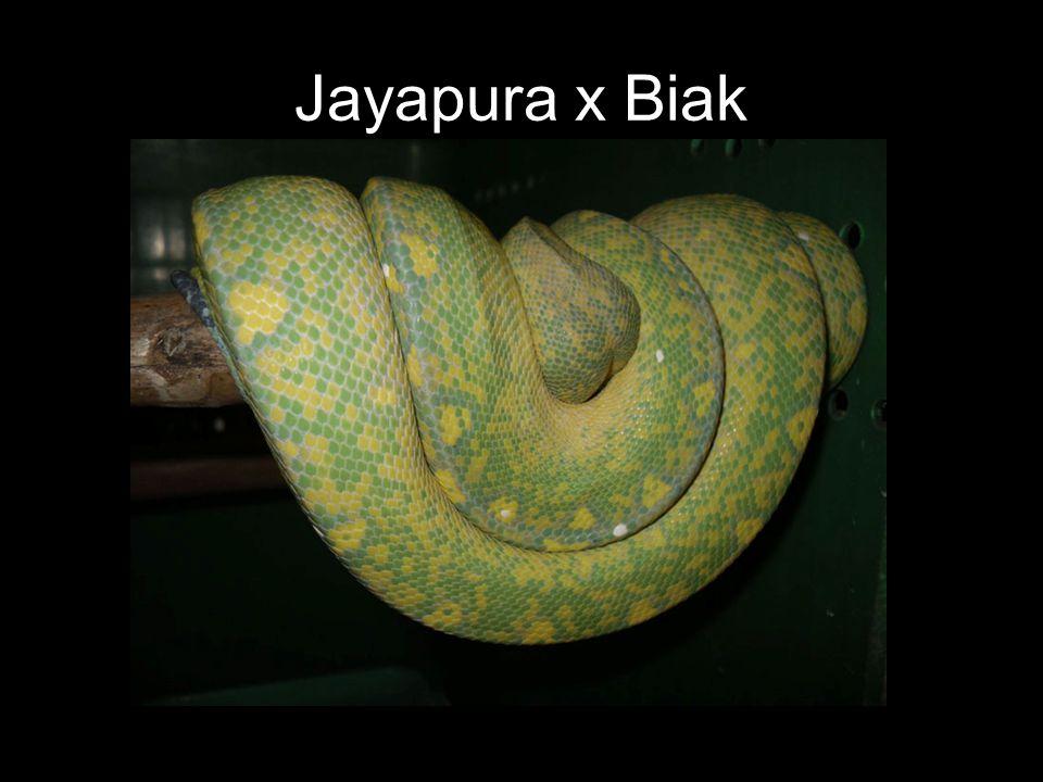 Jayapura x Biak