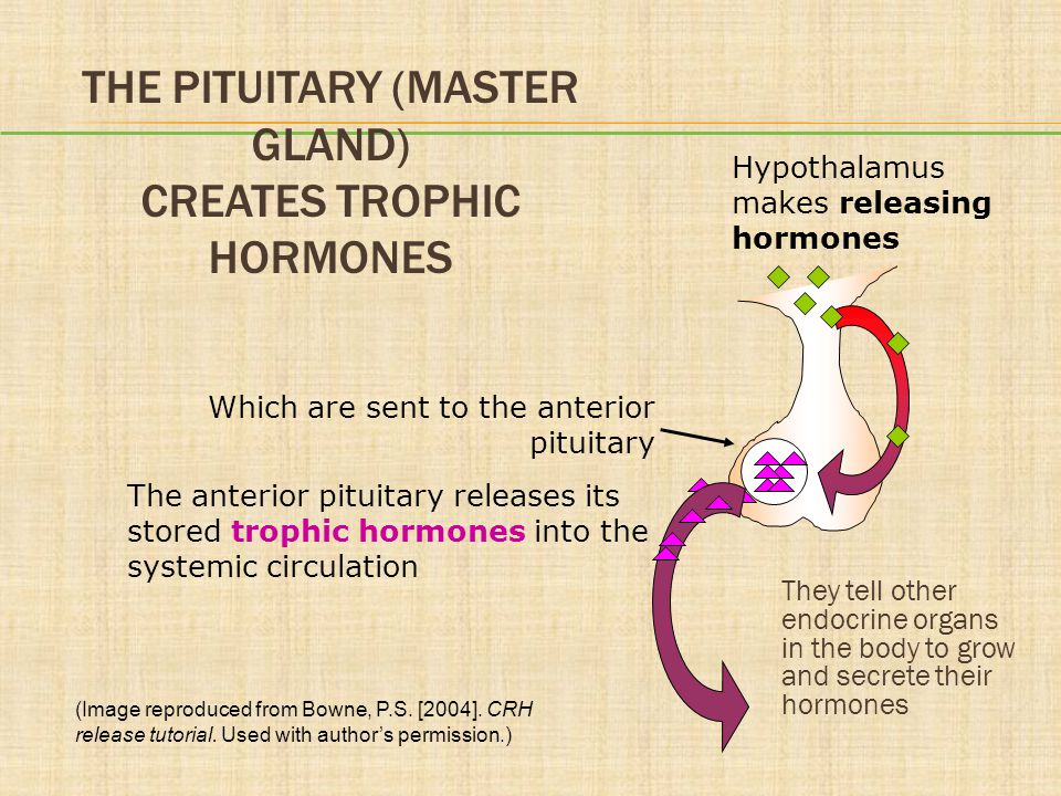 The Pituitary (Master Gland) Creates Trophic Hormones