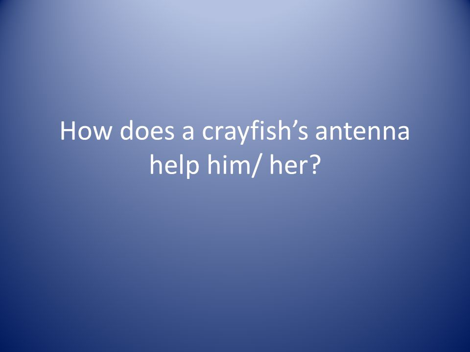 How does a crayfish's antenna help him/ her