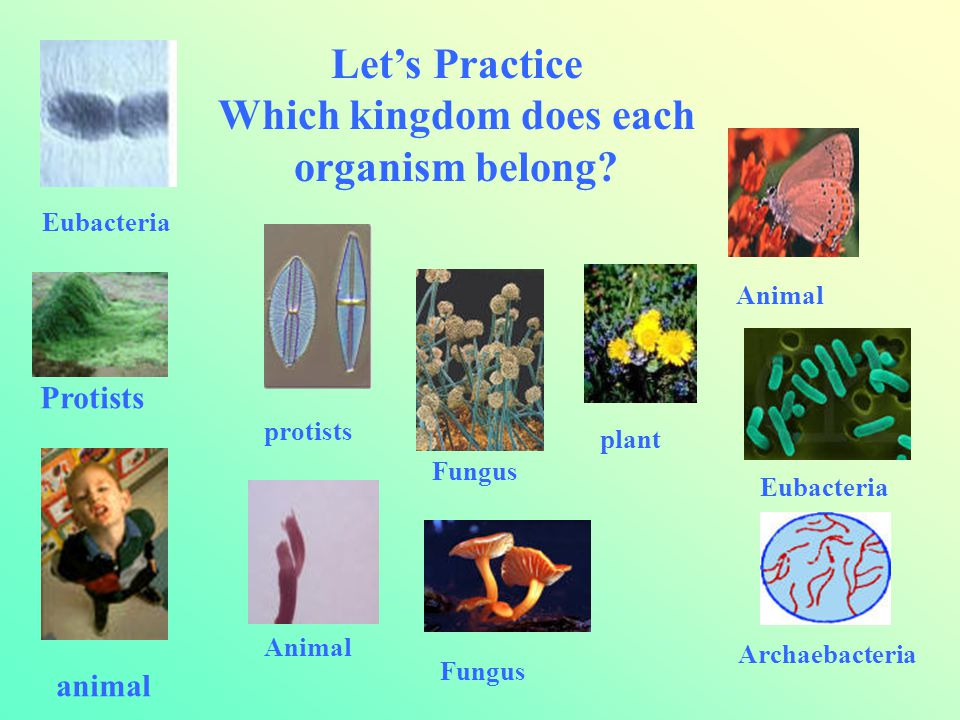 Which kingdom does each organism belong