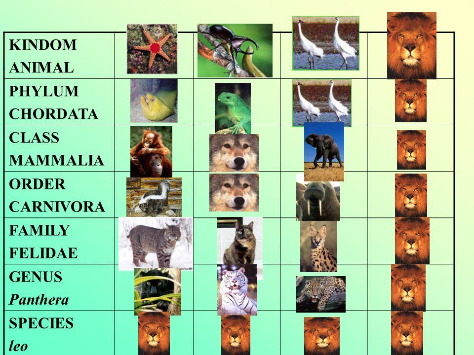 KINDOM ANIMAL. PHYLUM. CHORDATA. CLASS. MAMMALIA. ORDER. CARNIVORA. FAMILY. FELIDAE. GENUS.