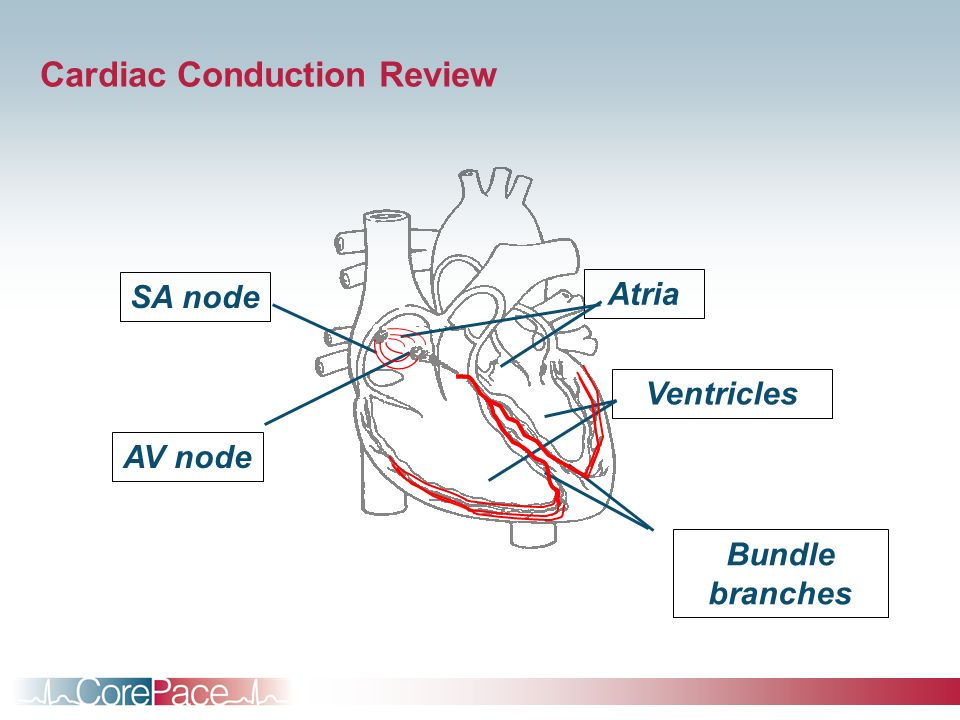 Cardiac Conduction Review