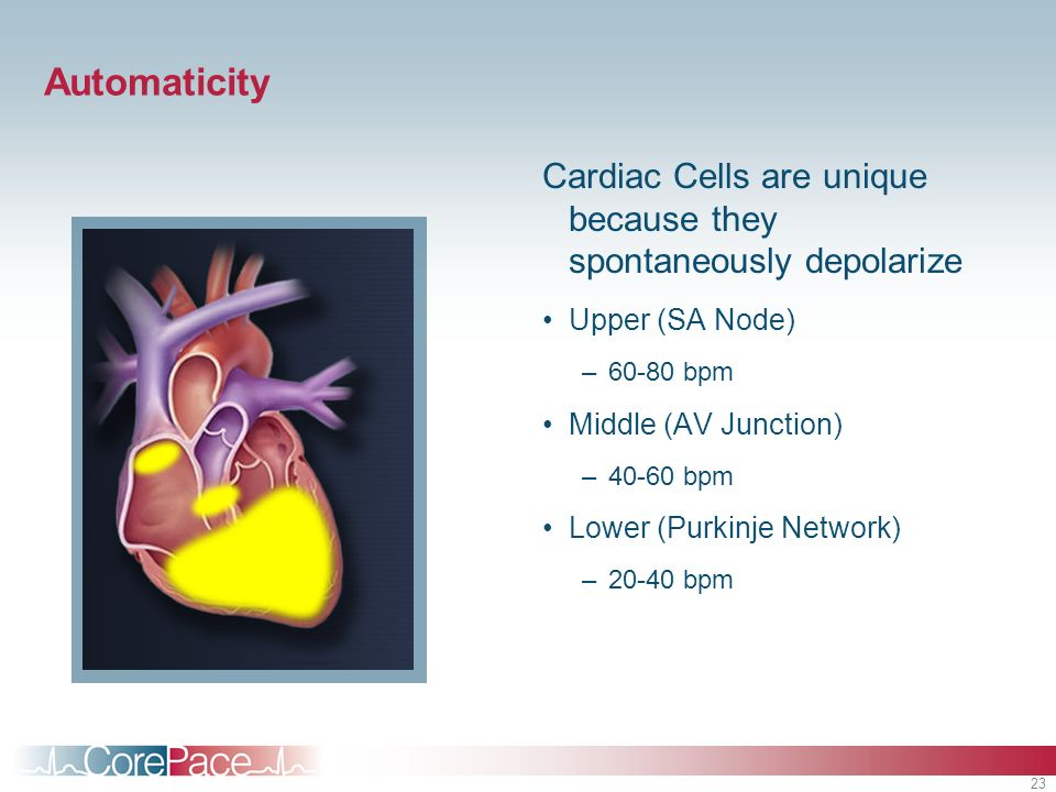Automaticity Cardiac Cells are unique because they spontaneously depolarize. Upper (SA Node) 60-80 bpm.