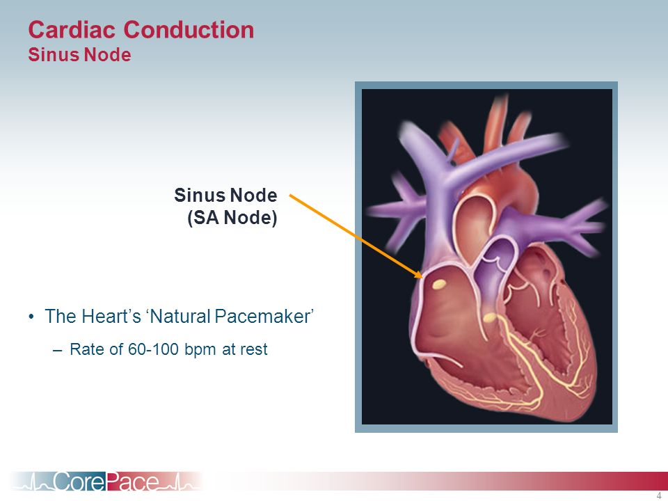 Cardiac Conduction Sinus Node
