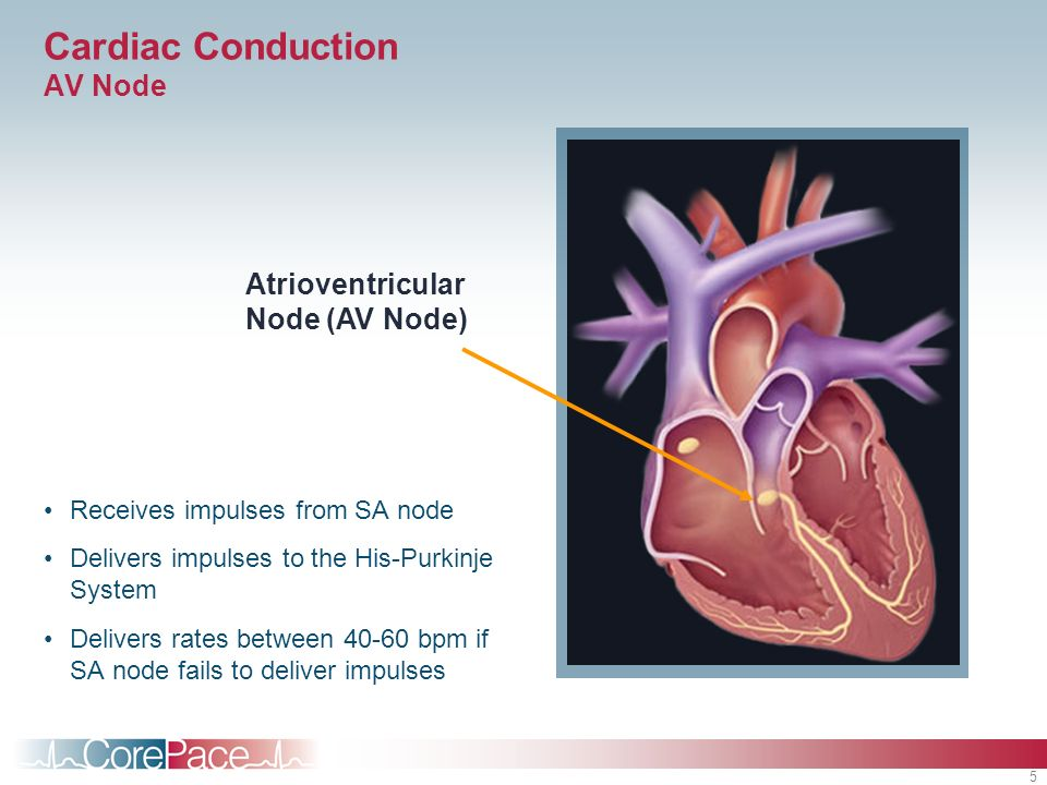 Cardiac Conduction AV Node