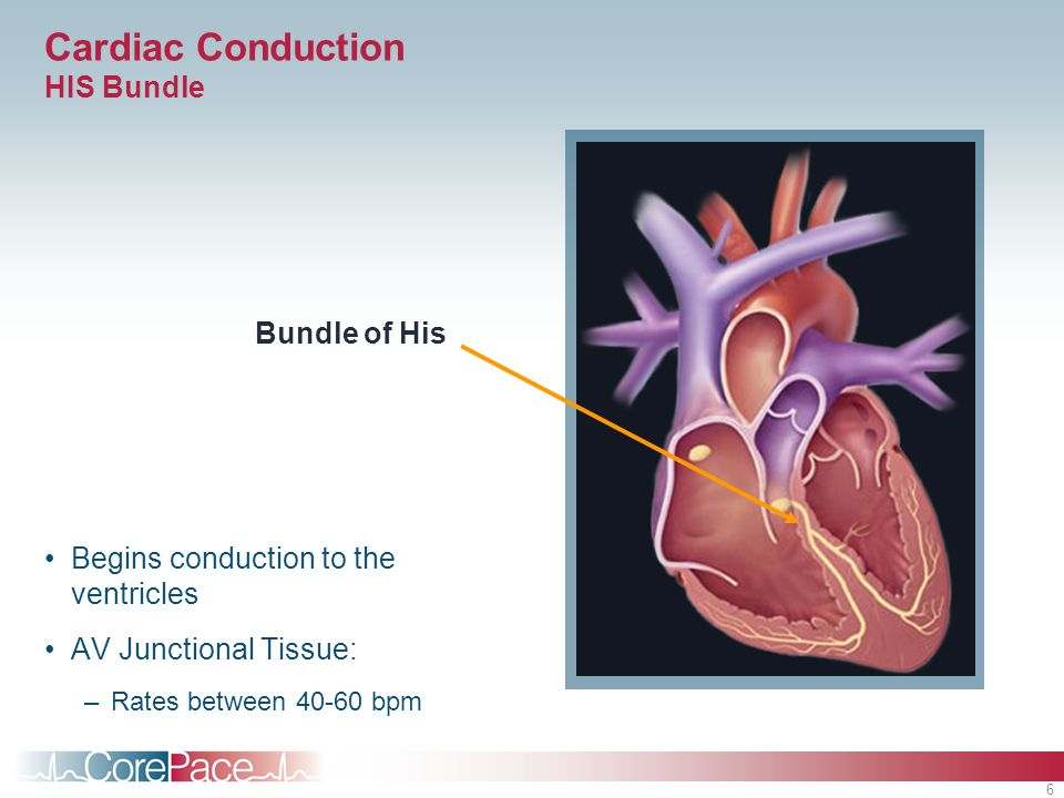 Cardiac Conduction HIS Bundle