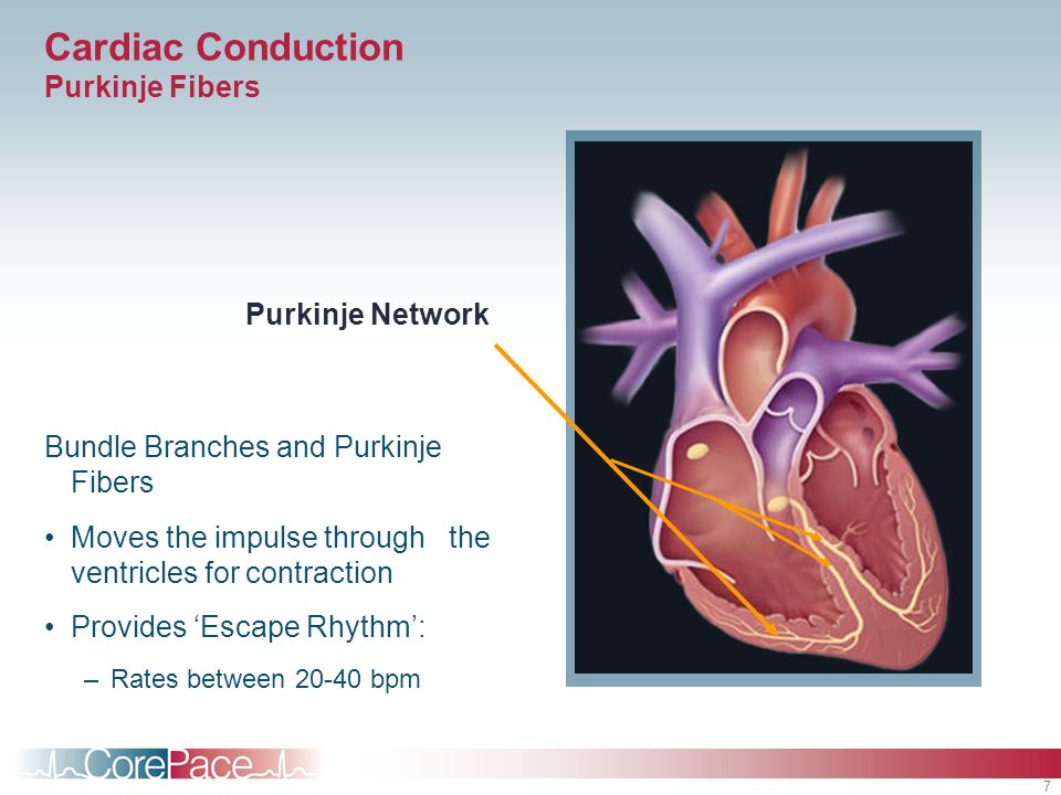 Cardiac Conduction Purkinje Fibers