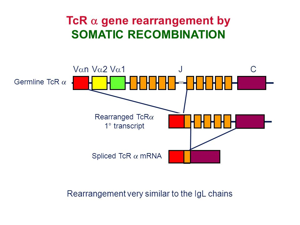 TcR a gene rearrangement by SOMATIC RECOMBINATION