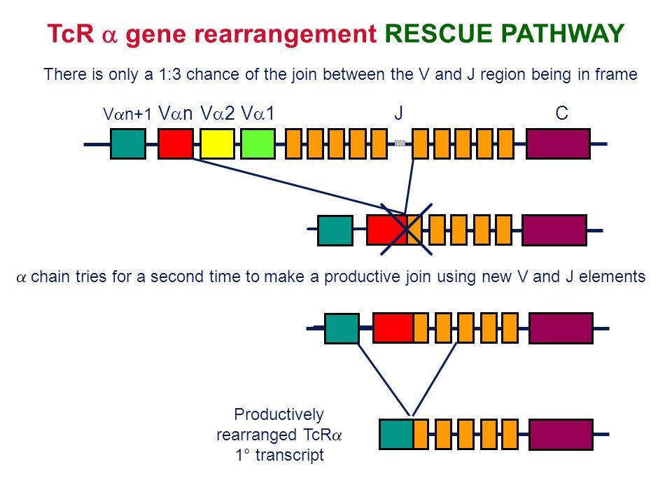 TcR a gene rearrangement RESCUE PATHWAY