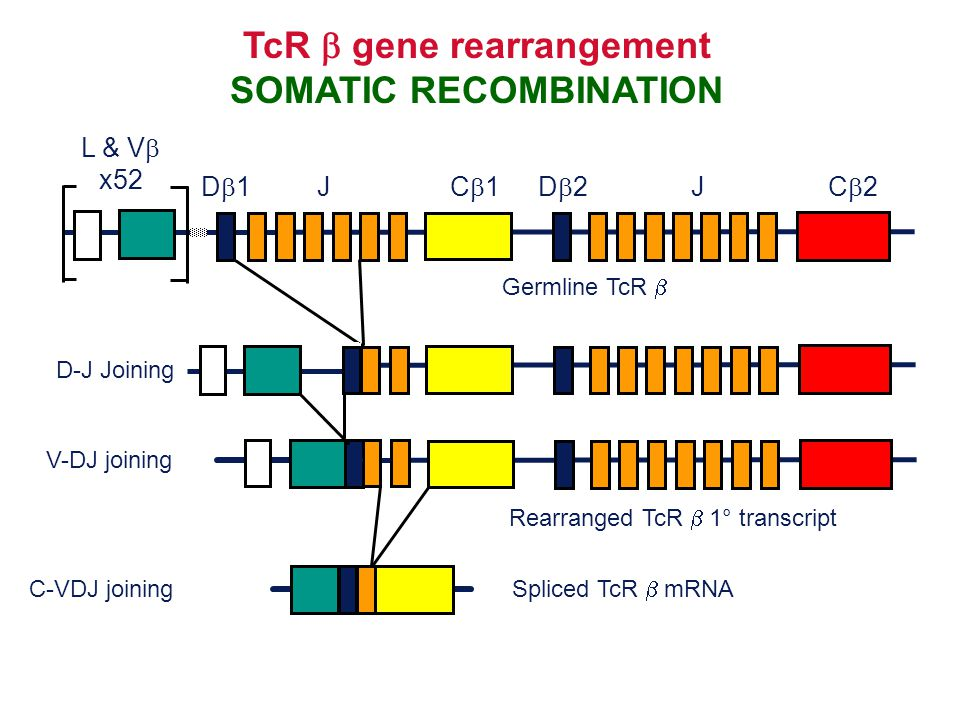 TcR b gene rearrangement SOMATIC RECOMBINATION