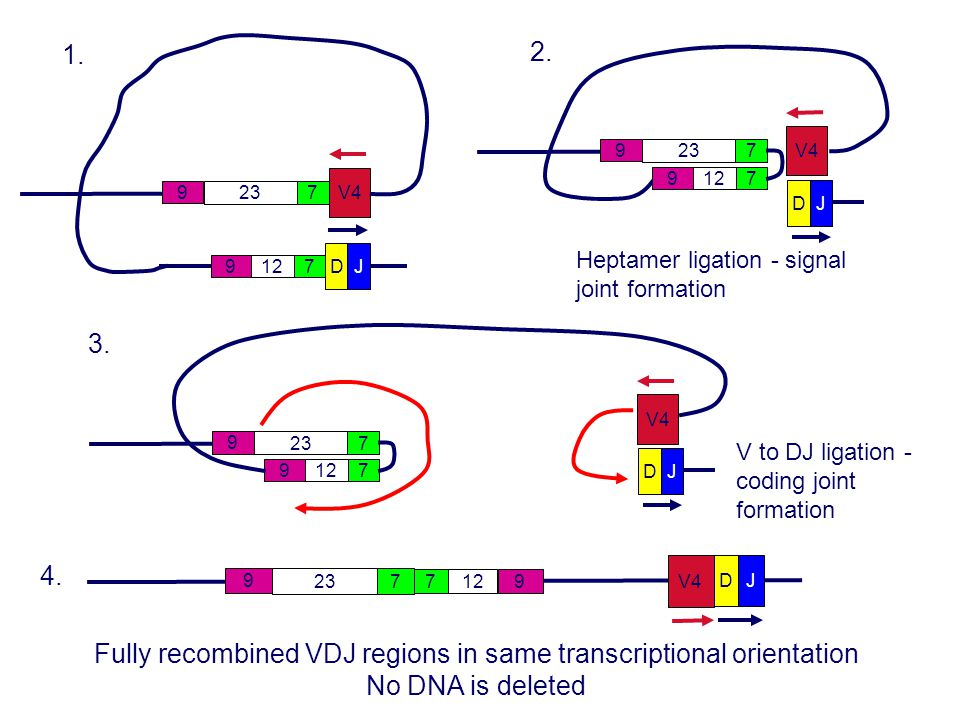 Fully recombined VDJ regions in same transcriptional orientation