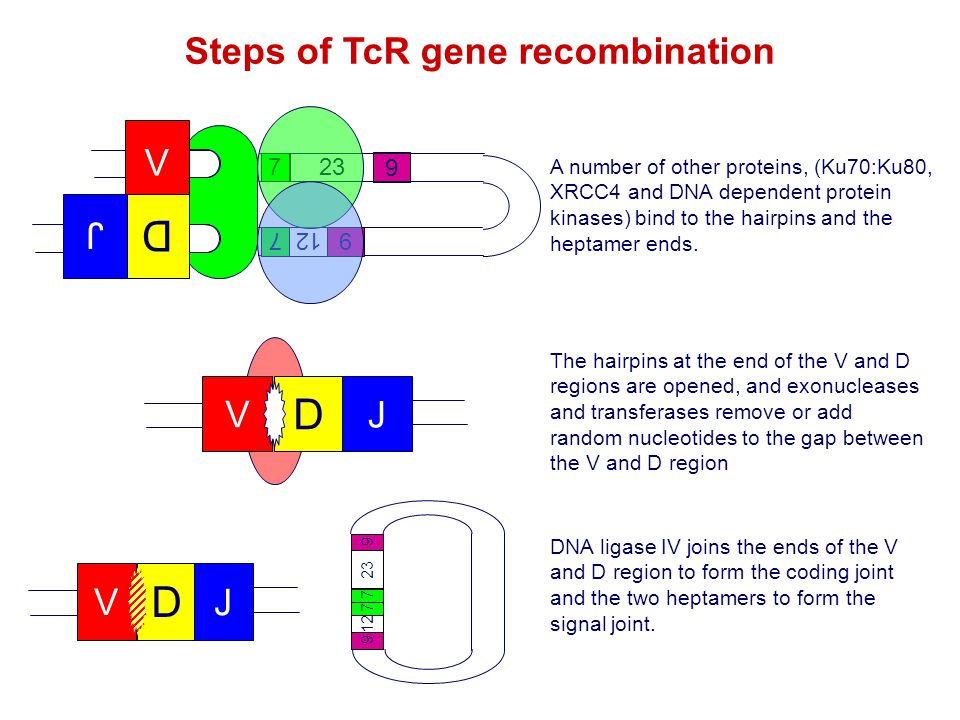 Steps of TcR gene recombination