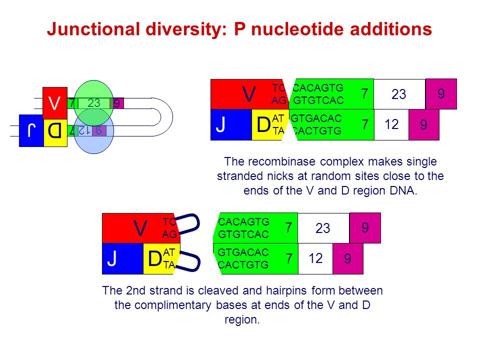 Junctional diversity: P nucleotide additions