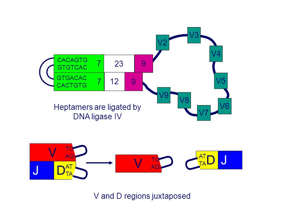 V2 V3. V4. V8. V7. V6. V5. V9. 7. 23. 9. CACAGTG. GTGTCAC. 12. GTGACAC. CACTGTG. Heptamers are ligated by DNA ligase IV.