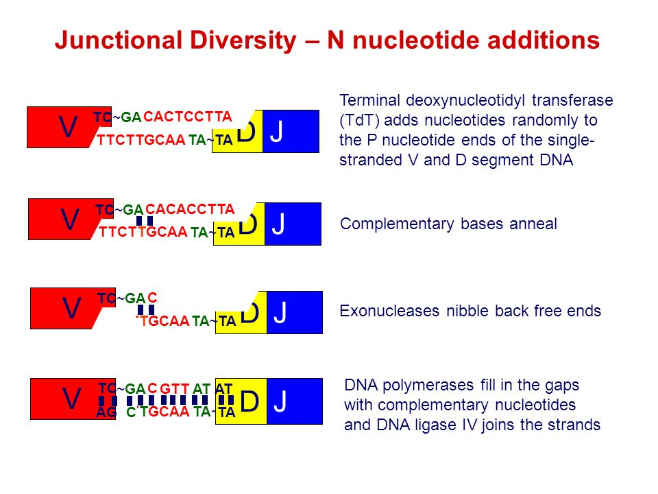 Junctional Diversity – N nucleotide additions