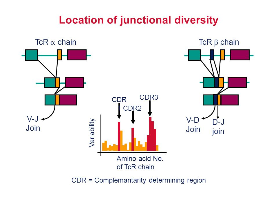 Location of junctional diversity