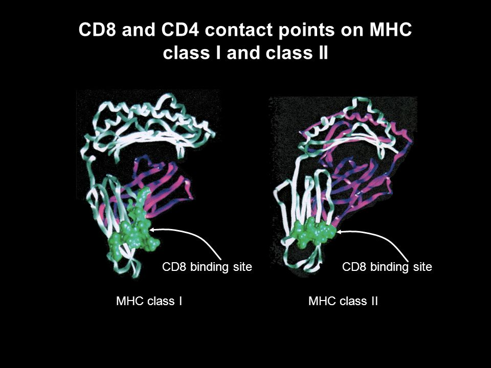 CD8 and CD4 contact points on MHC