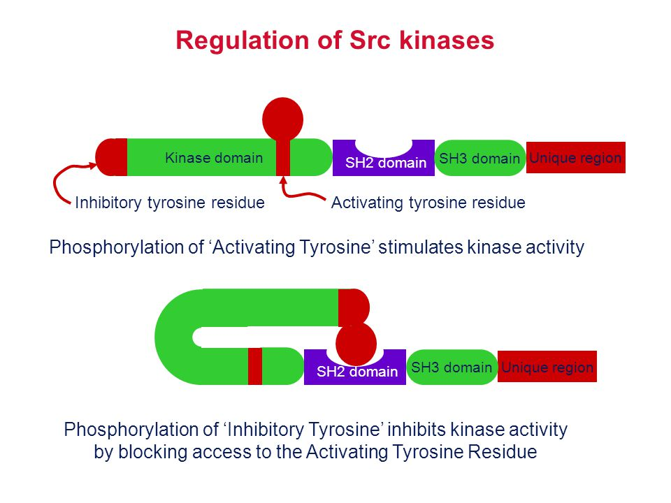 Regulation of Src kinases