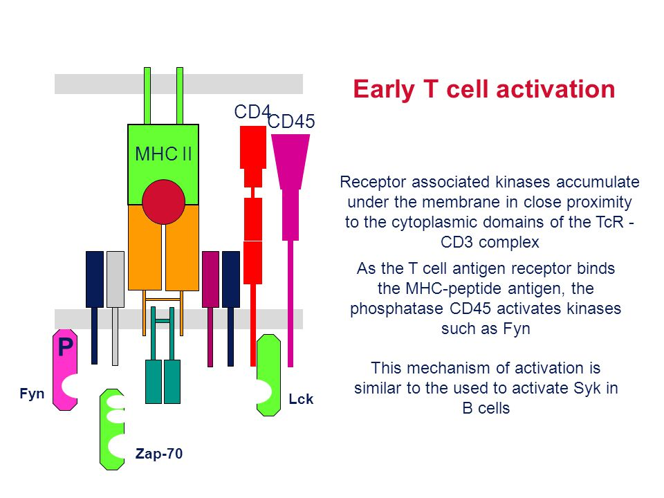 Early T cell activation