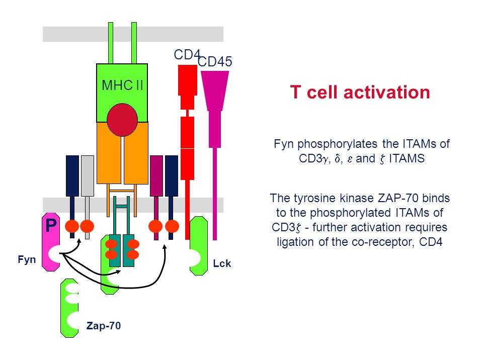 Fyn phosphorylates the ITAMs of CD3g, d, e and z ITAMS