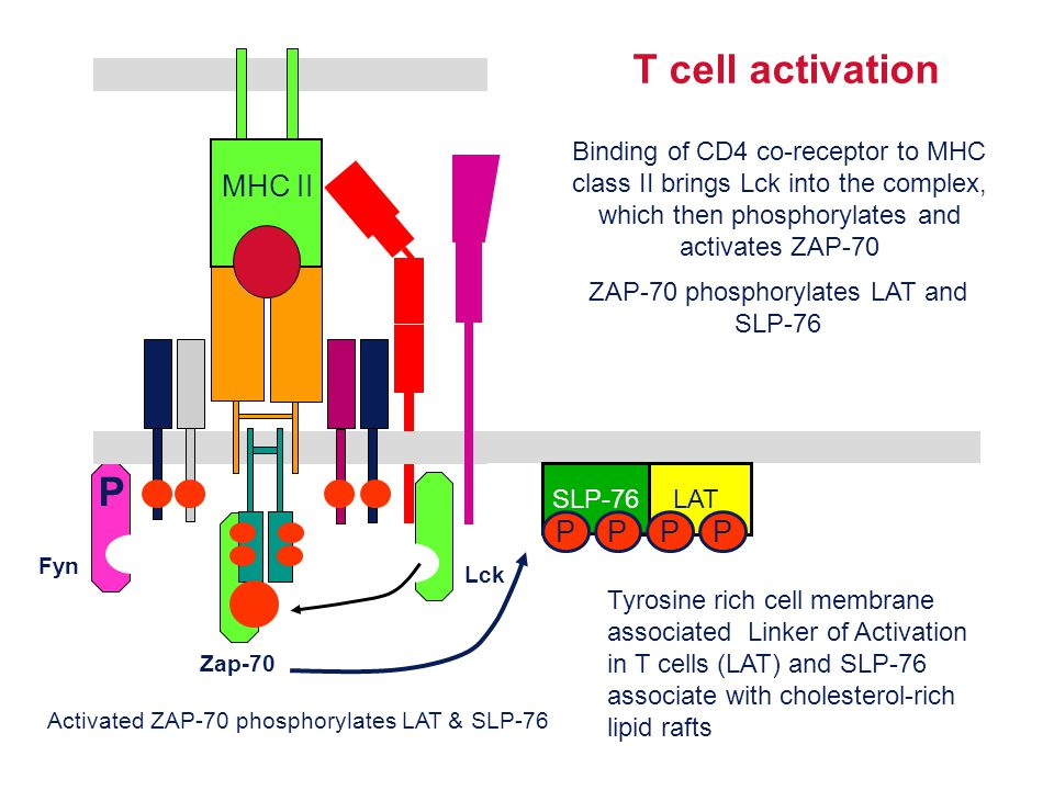 ZAP-70 phosphorylates LAT and SLP-76