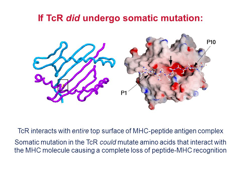 If TcR did undergo somatic mutation: