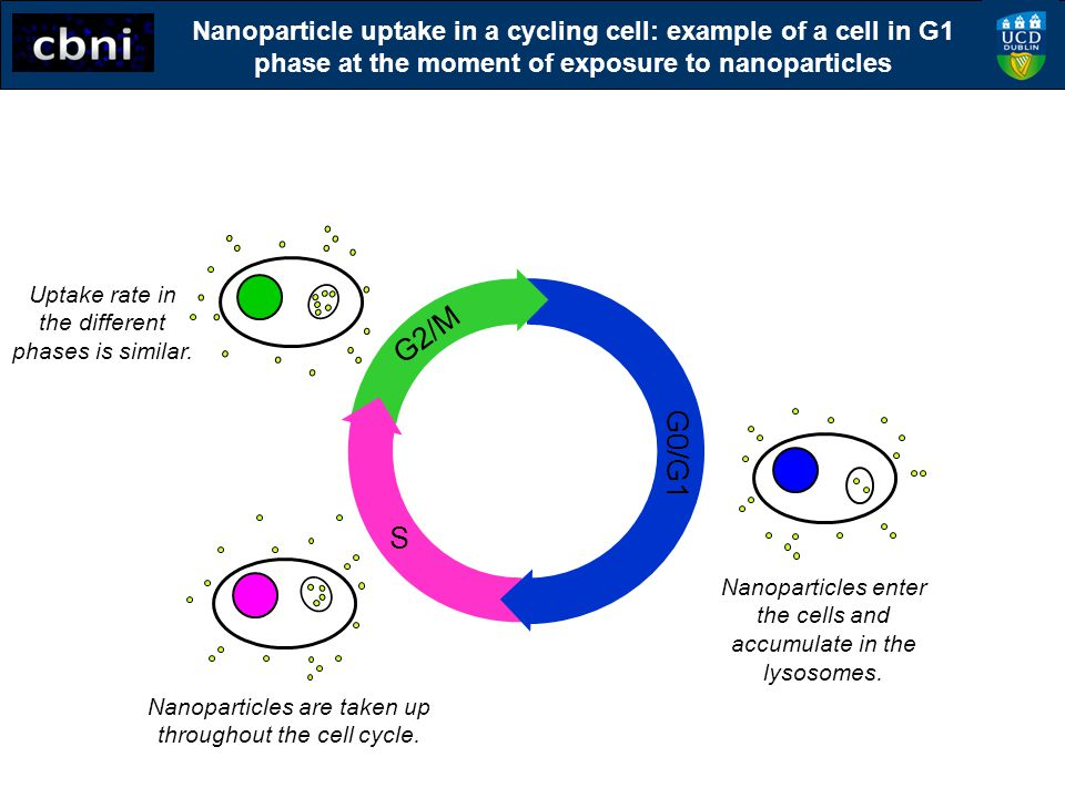 Nanoparticle uptake in a cycling cell: example of a cell in G1 phase at the moment of exposure to nanoparticles