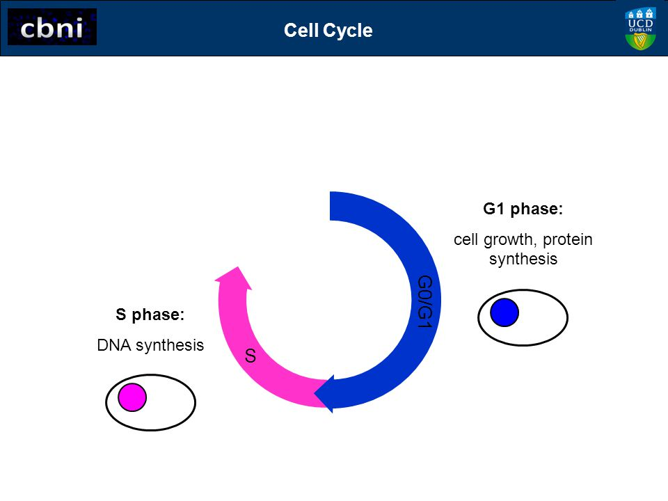 cell growth, protein synthesis