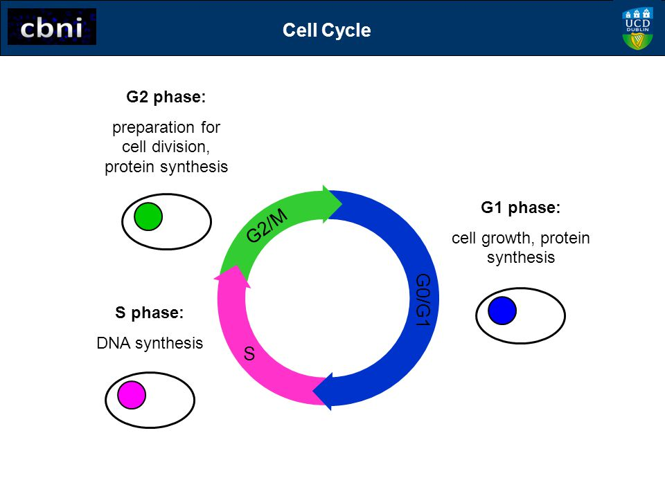 Cell Cycle G2/M G0/G1 S G2 phase: