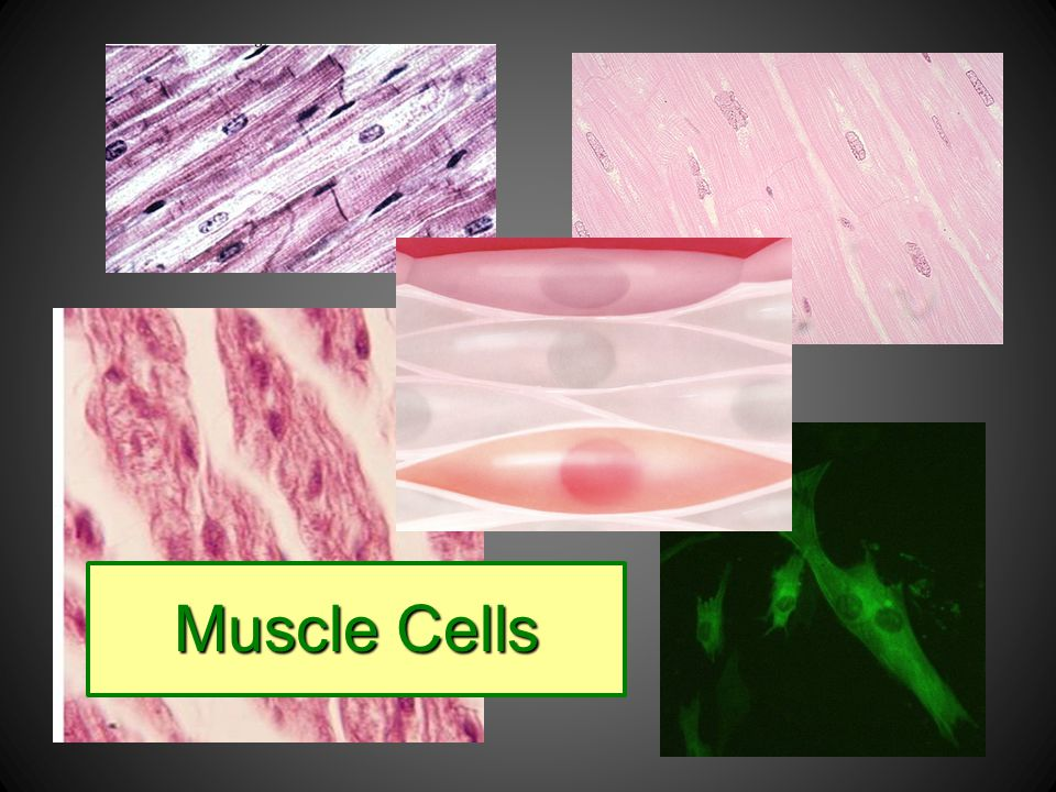 Muscle cells help us move by contracting and relaxing.