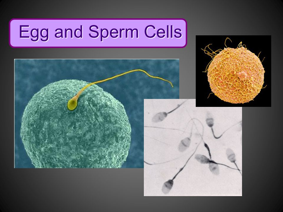 Egg and Sperm Cells Eggs and sperm cells are involved in reproduction.