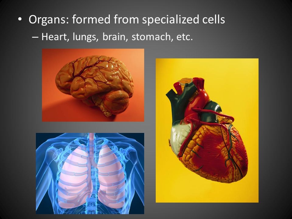 Organs: formed from specialized cells